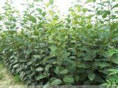 柿子苗山西柿子苗价格3-8公分柿子树软枣苗软枣种子