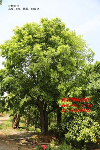 供应朴树、园林绿化树种、景观树