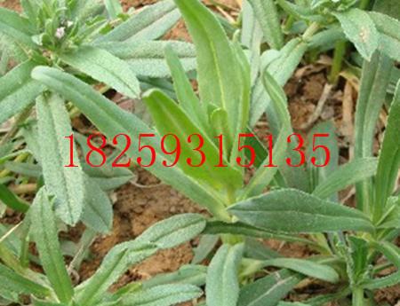 面条菜种子图片及价格