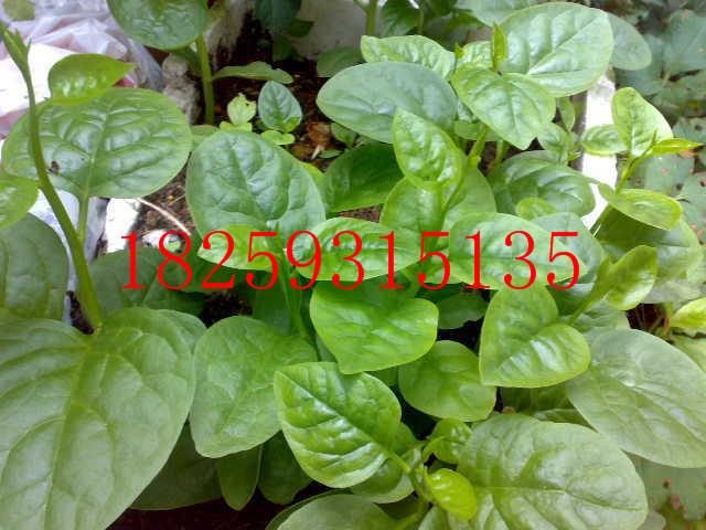 木耳菜种子种植