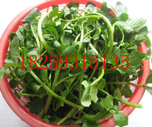 豆瓣菜种子种植