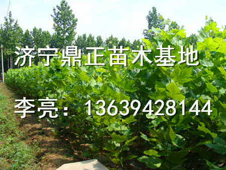 5公分法桐安徽合肥价格表
