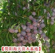 供应优质脆红李果树苗,良种脆红李苗管理技