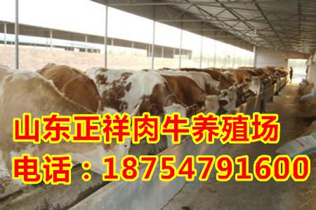纯种改良鲁西黄牛价格
