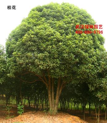 供应桂花树,桂花树价格,量大从优