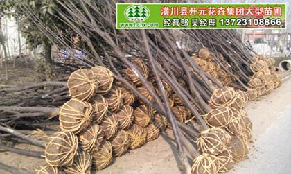 红叶李苗_地么2-3红叶李苗_4-5公分紫叶李出售