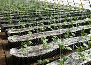控根容器栽培