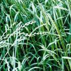 冬牧70黑麦草种子牧草种子批发