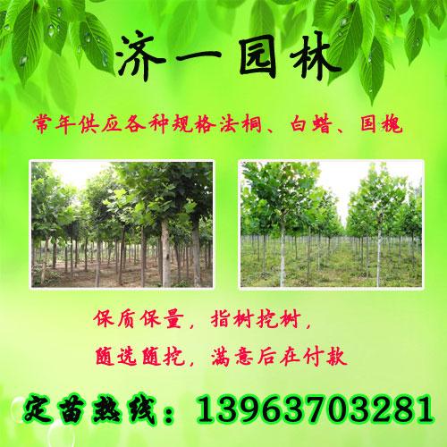 河北衡水8公分法桐树出售