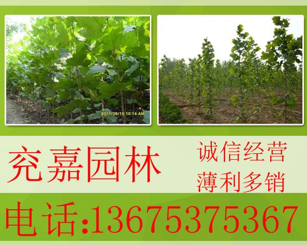 供应优质绿化苗木 速生白蜡法桐
