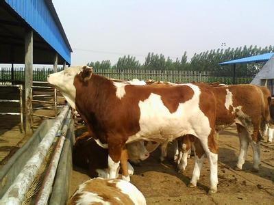 肉牛价格 低价肉牛 山西肉牛价格