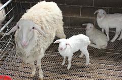 顺发湖羊---湖羊种养