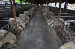 顺发湖羊---湖羊养殖