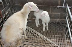 湖州南浔屯玗顺发湖羊养殖场的形象照片