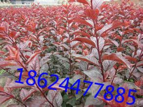 高原之火海棠苗基地的形象照片