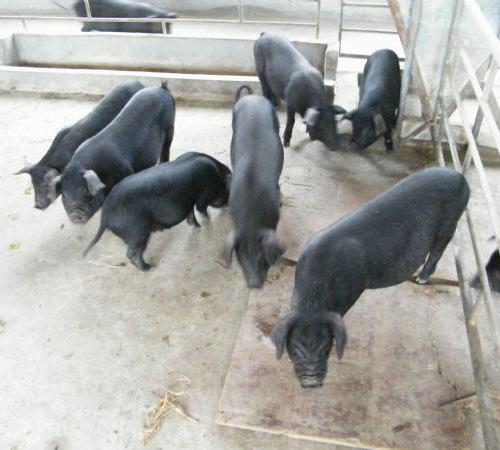 黑猪销售 黑猪批发 优质黑猪供应