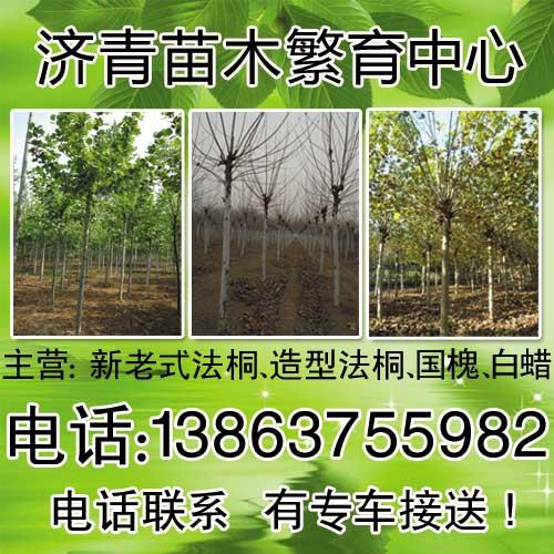 河北沧州供应速生白蜡苗