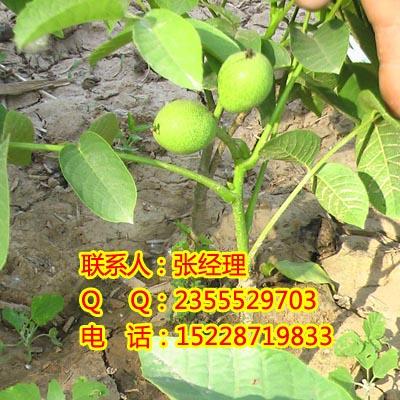 唐山核桃树的寿命,唐山核桃苗种植,唐山核桃苗管护