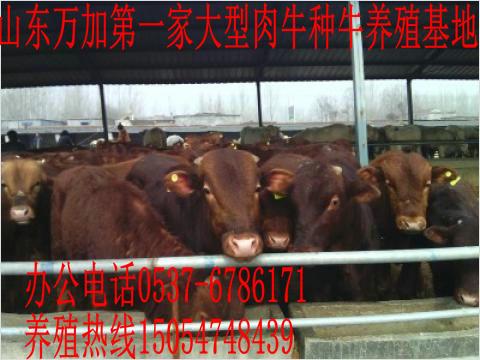 批发西门塔尔牛-鲁西黄牛-夏洛来牛-肉牛养殖