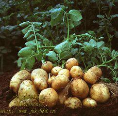 北京土豆种公司