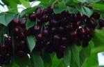 温室大樱桃苗独家批发中,黑珍珠大樱桃苗价格低
