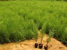 供应侧柏苗、1米侧柏苗、80公分高容器袋侧柏苗、种植1米侧柏苗