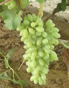 扶余葡萄苗,珲春葡萄苗、榆树出售碧香无核葡萄苗