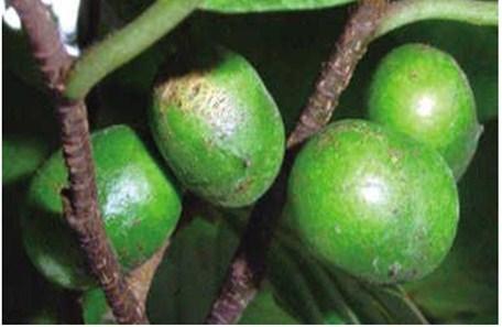 长期优价供应非洲臀果木提取物2.5%植物甾醇