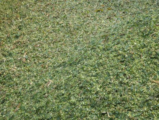 大量供应玉米秸秆饲料冬季牛羊储备青贮饲料羊饲料牧草