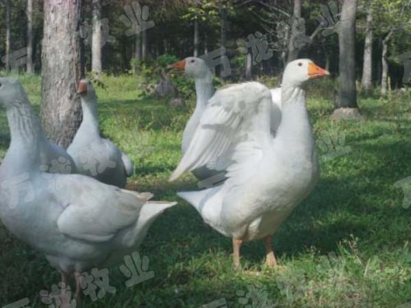 鹅雏反季节养鹅,鹅养殖收入的季节