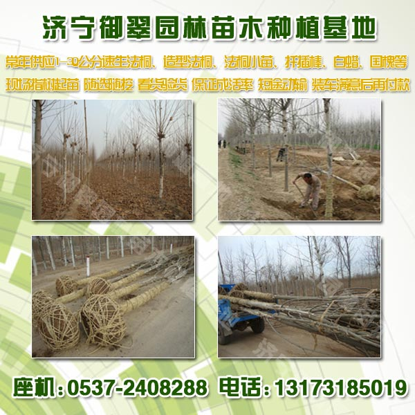 法桐树种植2公分法桐小苗价格