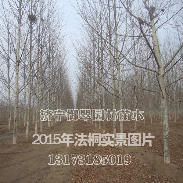 南京悬铃木15公分价格