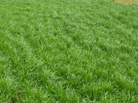 河南进口多年生黑麦草