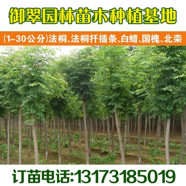 工程苗绿化苗山东造型白蜡11公分白蜡价格
