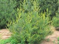 优质陕西白皮松1米高树苗求购