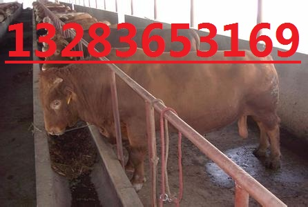 河北肉牛价格河北肉牛品种河北养殖场