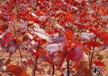 供应山西优质红叶杨 2-10公分红叶杨