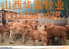 鲁西黄牛肉牛