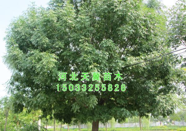 白蜡-白蜡图片-天冀苗木