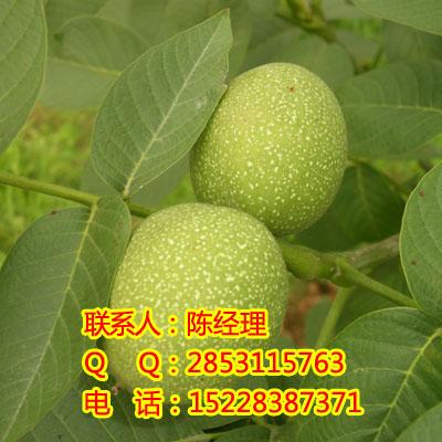 贵州核桃苗,贵阳种植川早核桃苗的好处,川早2号的生产基地