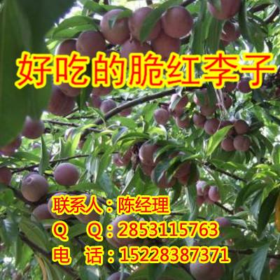 贵州李子苗,贵州李子苗有什么好品种?贵州李子苗最佳的种植时间