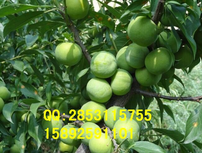 兴义市核桃树,兴义市核桃树栽培方式