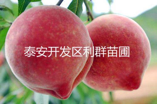 桃树苗 新品种桃树苗