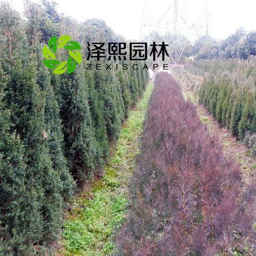泽熙供应正品柏树侧柏松柏绿化工程苗木批发