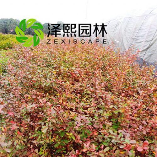 金华泽熙供应火棘树苗绿化工程苗木批发