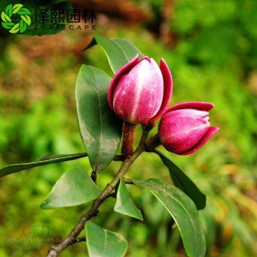 泽熙园林供应紫花含笑树苗绿化工程苗木批发