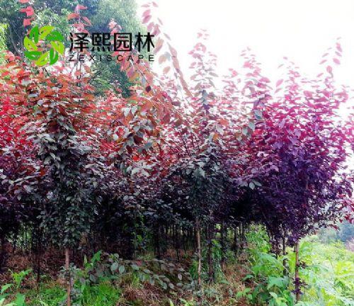 泽熙园林供应紫红叶李树苗绿化工程苗批发