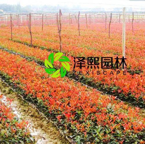 金华泽熙园林供应红叶石楠树苗绿化苗木批发