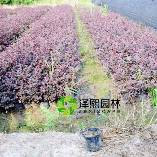 金华泽熙园林供应红花檵木树苗绿化工程苗木批发