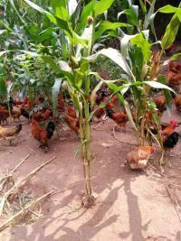 广元山鸡价格,广元山鸡养殖